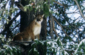 fall-winter-cougar-live